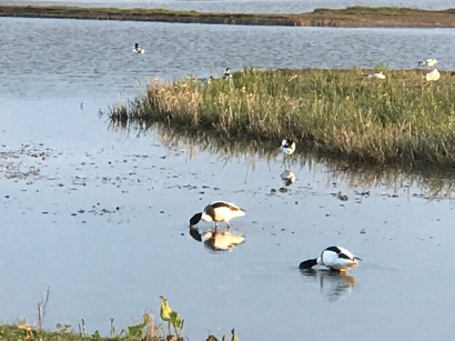 New friends - Shelducks and Avocets