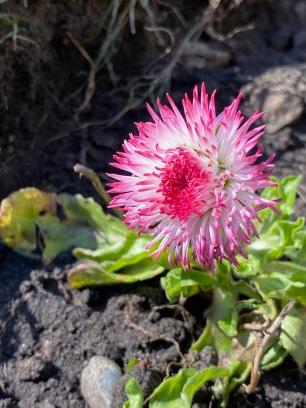 Bellis daisy in the sunshine
