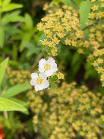Teeny tiny last two spirea flowers