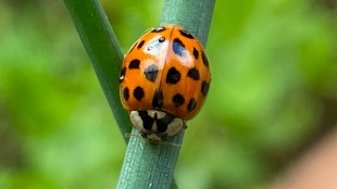 Teeny tiny ladybird